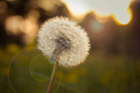 Dandelion with lens flare